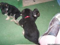 AKC Reg. German Shepard puppies for sale!!!  2