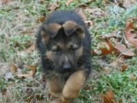 WE HAVE 5 BLACK/RED MALES WEST GERMAN SHOWLINE PUPS FOR