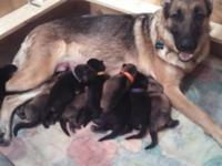 Litter of GSD young puppies born in Great Falls, VA and