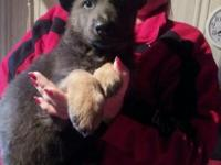 Akc reg german shepherd pups rare blue and tans and blk