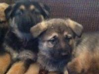 AKC reg XL GERMAN SHEPHERDS young puppies taking