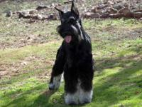We have an 2 outstanding litters of Giant Schnauzer
