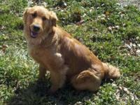 Hello there I have a female golden retriever for sale,
