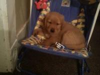 For sale Akc reg golden retriever young puppies will