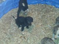 akc reg great danes three weeks old right now ready