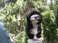 Ace is a 16 week old AKC male Havanese (Champion