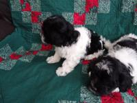 I have one male,one female Havanese pups for