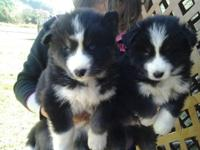 AKC REG, SIBERIAN HUSKY PUPS!!,,READY NOV 15TH AND NOV