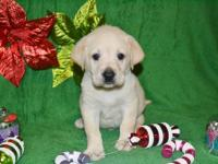 AKC Labrador Retriever pup born 10/26/12. Dew Claws