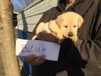 AKC Reg Lab Pups, all yellow. Males and females, Ready