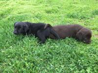 I have black and chocolate AKC Registered Lab Pups that