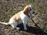 8mo. old lemon & & white female beagle from hunting