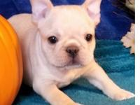 Akc Reg M/F French bulldogg Puppies, Text and Sms Us