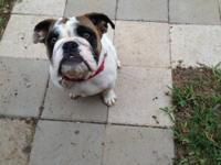 5 month old reg english bulldog .white with brindle