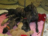 Purebred Male Great Dane looking for a new FOREVER