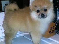 AKC Reg. Male Pomeranian. Born May 19, 2015.