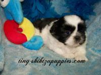 SHIH TZU puppies will win the hearts of everyone with