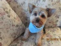 AKC MALE YORKIE, 11 MONTHS , black / gold, all shots