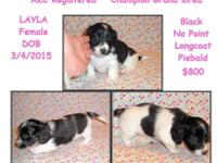 AKC Champion Grand-sired Puppies Born March. 4th, 2015.