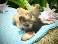 DOB 04/04, miniature wild boar male, 9 weeks old and