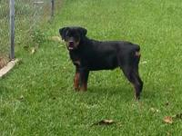 We currently have a gorgeous 4 month old female rotty