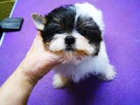 SUGAR IS A SMALL FEMALE , WILL BE 5 LB,AKC REG PARTI