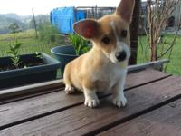 AKE REG CORGI PUPPY, MALE 10 WEEKS, ALL SHOTS AND