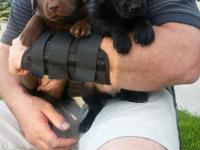 These are an excellent breed, Pointing Lab Pups. They