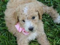 I have 8 adorable curly standard poodle puppies! Cream,