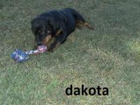 AKC REG. MALE ROTTWEILER PUP 18 WEEKS OLD READY FOR HIS