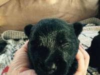 We have male and female Scottish Terrier puppies! They