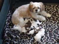 AKC Reg. Shih-Tzu Puppies FOR SALE 4 male $650.00 brown