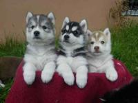 Beautiful Siberian husky puppies, male, female,