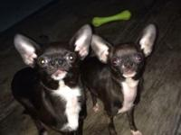 I have to rehome my two chihuahuas. They are litter