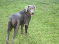 I have a GORGEOUS English bred Silver Lab, female 9
