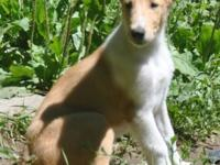 We have 2 smooth collie puppies from great lines.