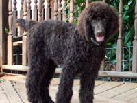 2 yr old female standard poodle. She just turned 2 in