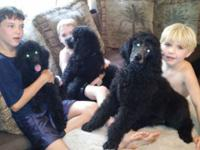 Black standard poodle puppies,may turn blue. 13 weeks
