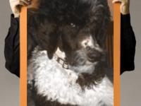 *Taking Reservations Black/White Parti Poodle Girls and