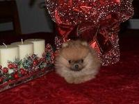 Beautiful AKC Reg Tea Cup Pomeranian female from