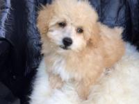 For sale AKC reg toy poodle young puppies veterinarian