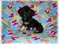 AKC reg. Toy Poodle pup, male, color is Black & Cream