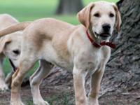 Five handsome AKC registered yellow lab puppies