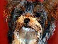 Very nice AKC Reg. and APRI Reg. Yorki male about 3 - 4