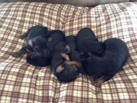 AKC Reg. Male Yorkie Puppies Born: March 31, 2015