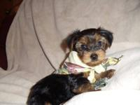 We have four male and one female Yorkie pups left.