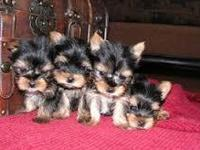 4 male 3- female yorkie puppies comes with Puppy pack,