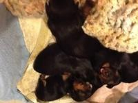 We have a litter of Yorkie puppies for sale, they are