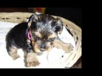 We have a litter of 5 Yorkie pups available. They will