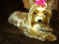 teacup yorkie for sale in Pensacola, Florida Classifieds & Buy and